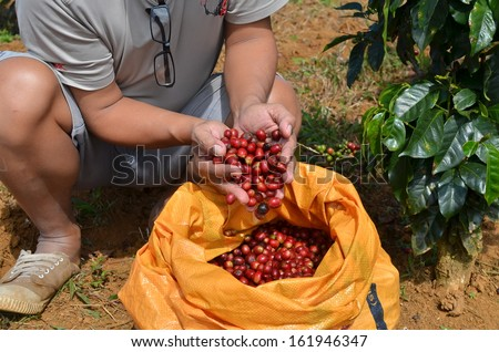 Farmer picking and holding ripe, red coffee berries from a sack - stock photo