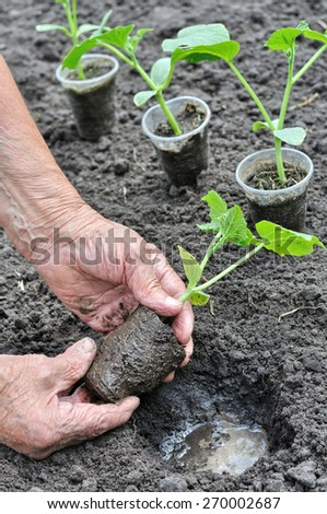 farmer planting a cucumber seedling in the vegetable garden in series, 3 of 4 - stock photo