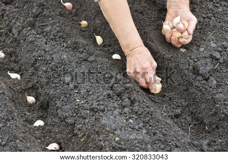 farmer planting garlic in the vegetable garden - stock photo