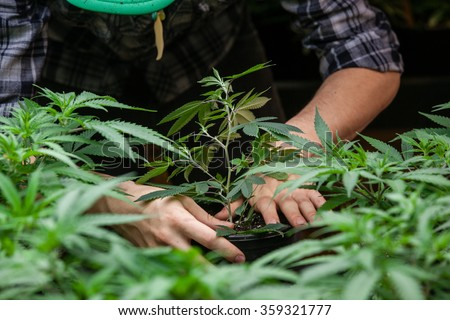 farmer planting his marijuana crop - stock photo