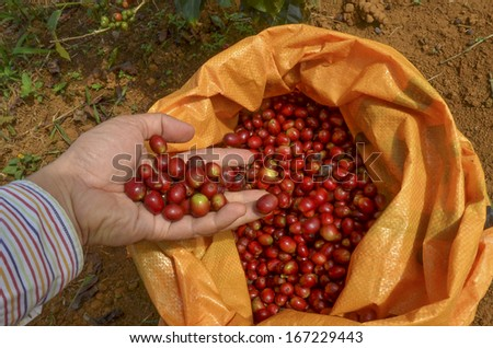 Farmer pouring red arabica coffee berrieson into a sack at coffee plantation - stock photo