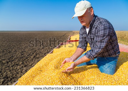 Farmer showing harvested corn maize grains during harvest - stock photo