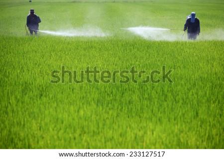 farmer spraying pesticide in green paddy field - stock photo