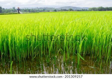 farmer spraying pesticide in paddy field. - stock photo