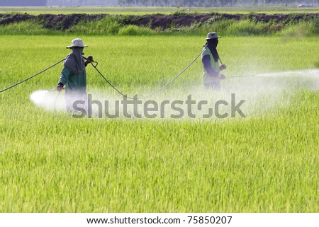 Farmer spraying pesticide on rice field - stock photo