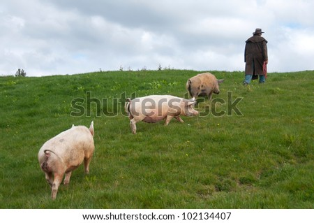 Farmer walking with pigs in a paddock on a farm - stock photo