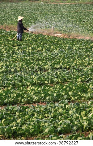 Farmer watering cabbage field - stock photo