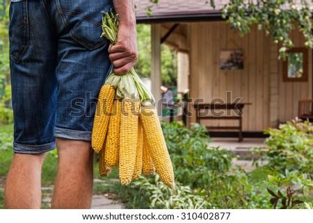 Farmer with organic sweet corn on a farm - stock photo
