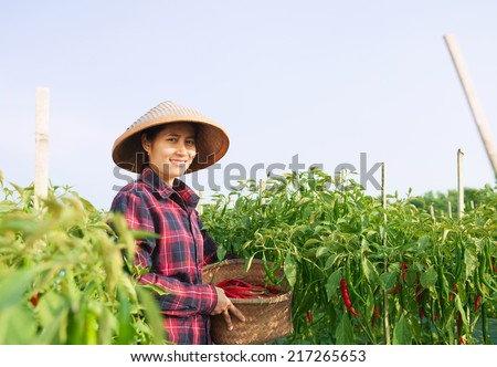 Farmer woman picking chili on the field - stock photo