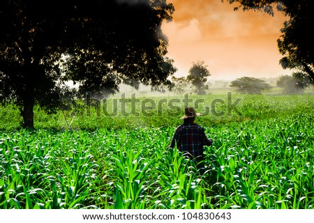 Farmer woman walking in corn fields at early morning - stock photo