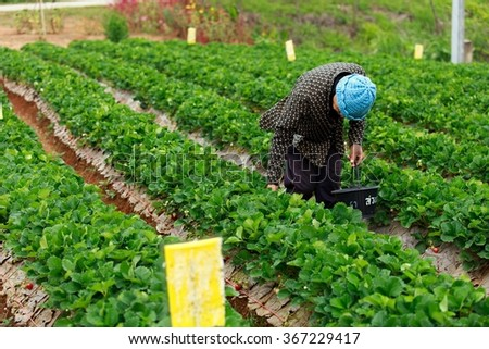 Farmers are picking strawberries on a farm  Strawberry  - stock photo