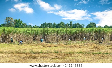 Farmers cutting Sugar Cane to be processed. - stock photo