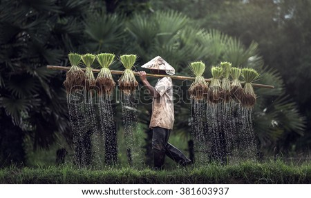 Farmers grow rice in the rainy season. They were soaked with water and mud to be prepared for planting. wait three months to harvest crops. - stock photo