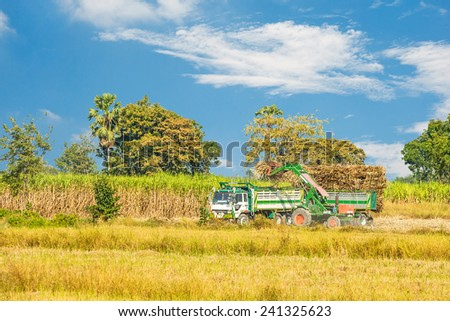 Farmers harvest Sugar Cane to be processed. - stock photo