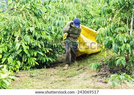 Farmers picking coffee berries from Arabica plants in the coffee plantation during daytime  in Da Lat, Vietnam. Da lat is one of the best tourism city in Vietnam. - stock photo