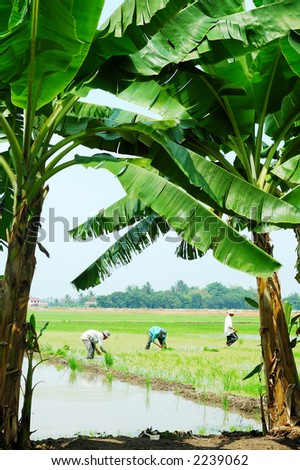 Farmers working in paddy field - stock photo