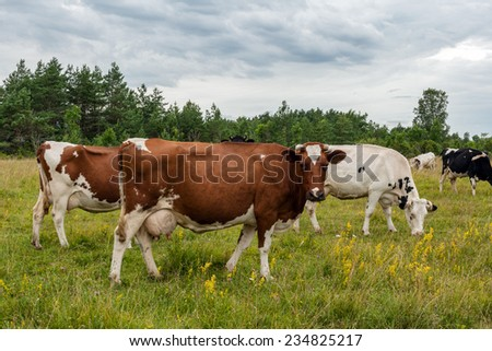 Farming and agriculture related photo with the herd of cows - stock photo