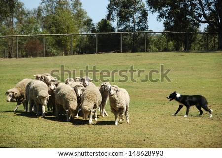 Farming Sheep - stock photo