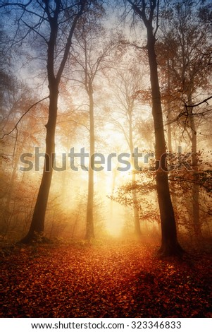 Fascinating light in a foggy forest in autumn or winter, with bare trees and the ground warmly illuminated - stock photo