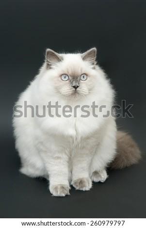 fat british cat - stock photo