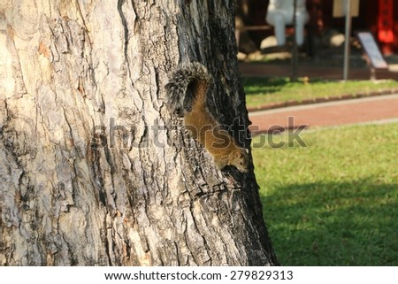Fat Brown Squirrel Climbing on a Tree - stock photo