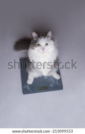 fat cat on the scales - stock photo