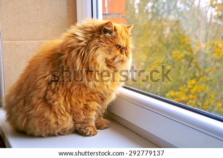 fat cat sitting on a windowsill and looking out the window - stock photo