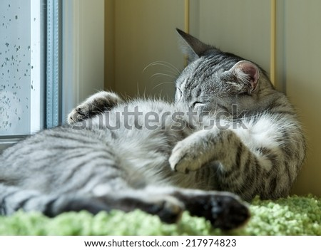 Fat cat sleeping on day time in blur background, fat happy cat, happy cat, car resting on day time, fat cat, siesta time, domestic animal, domestic cat, grey cat  - stock photo
