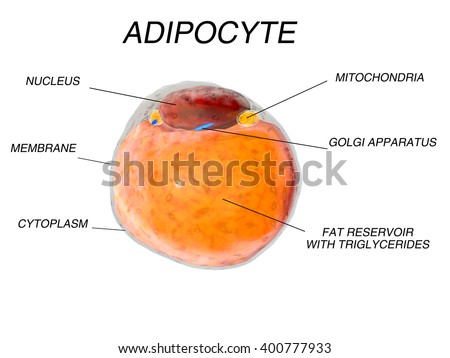 Adipose Stock Photos, Images, & Pictures | Shutterstock