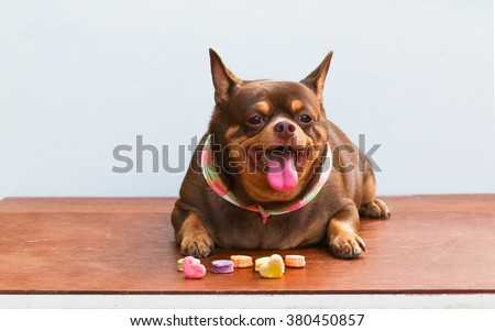 Fat Chihuahua dog bored, sitting on the desk. It's went eating milk snack for pet. - stock photo
