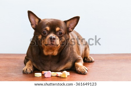 Fat Chihuahua dog, sitting on the desk. It's went eating milk snack for pet - stock photo