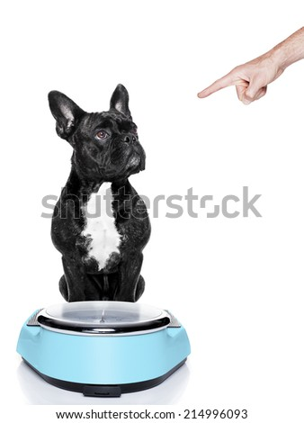 fat dog on scale being punished for gaining weight by his owner, isolated on white background - stock photo