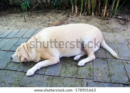 Fat labrador retriever  sleep on the floor , 8 years old. - stock photo