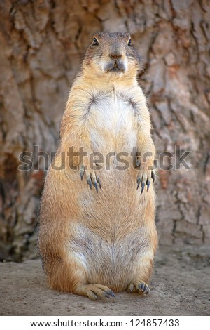 Fat Prairie Dog - stock photo