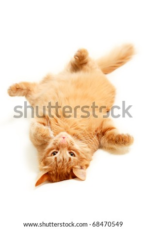 fat red cat lazy with big paunch lying on the back isolated on white background - stock photo
