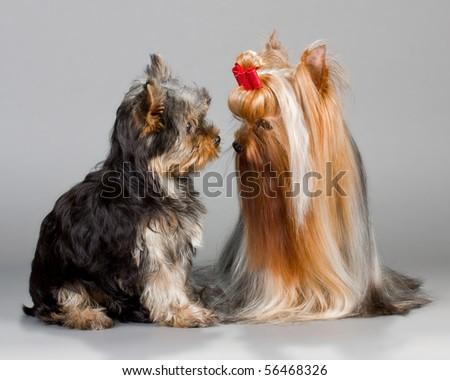 Father and son Yorkshire terrier sitting on a gray background. Not isolated. - stock photo