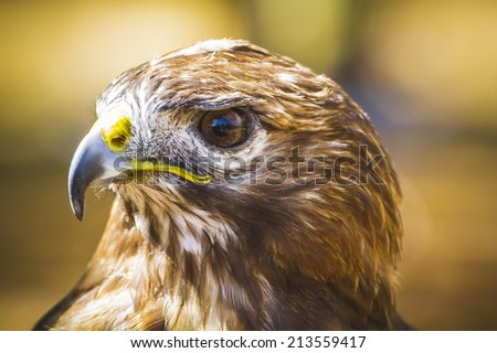 fauna, eagle, diurnal bird of prey with beautiful plumage and yellow beak - stock photo