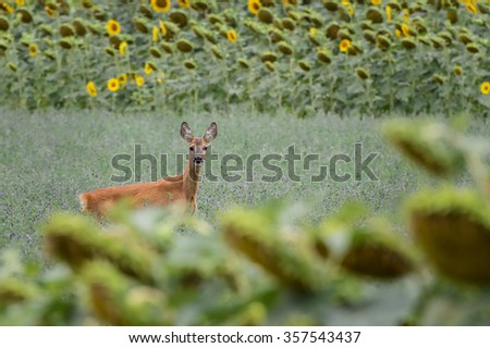 Fawn Bambi's attention in the field of sunflowers - stock photo