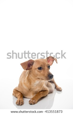 Fawn Colored Terrier Mix Dog Relaxing on White Background - stock photo