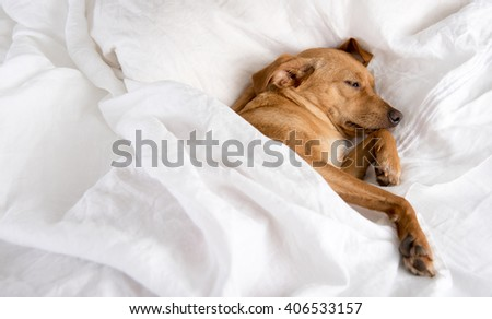 Fawn Colored Terrier Mix Dog Sleeping on White Sheets - stock photo