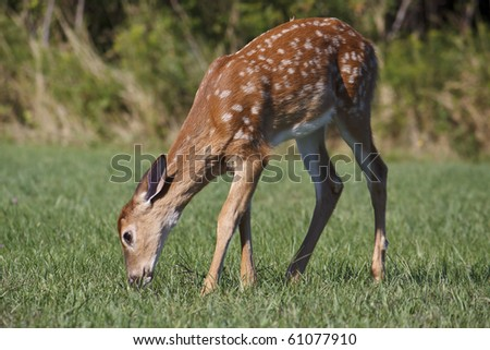 fawn eating grass in the morning - stock photo