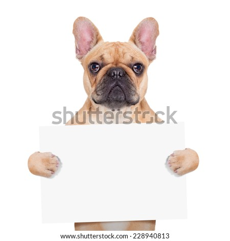 fawn french bulldog holding a white blank banner or placard, isolated on white background - stock photo