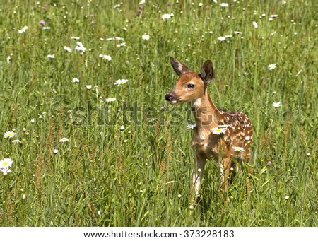 Fawn in Daisies - stock photo