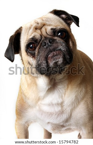 Fawn Pug looking confused. - stock photo