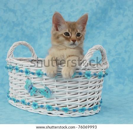 Fawn Silver Somali kitten in a wicker basket - stock photo