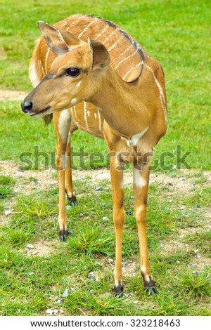 Fawn standing on grass - stock photo