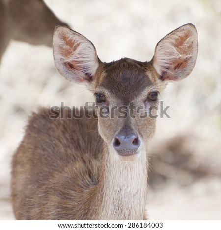 Fawn (young deer) in farm - stock photo