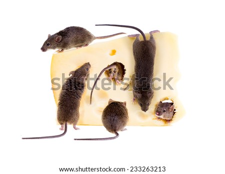 Feast of common house mouse (Mus musculus) on a large piece of cheese. Isolated on white background - stock photo