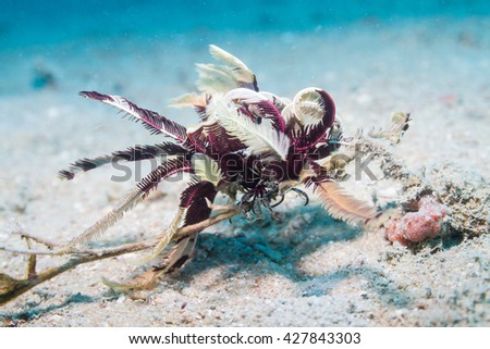 Feather star - stock photo