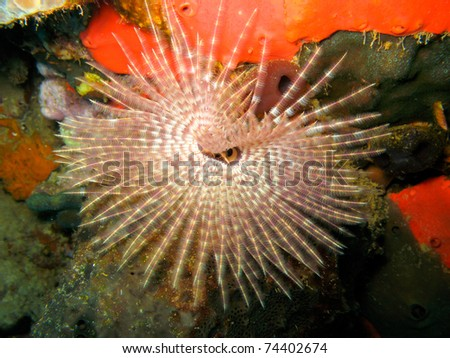 Featherduster Worm Over Sponge on Coral Reef In Dominica in the Caribbean - stock photo